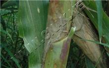 龙血树防治茎腐病
