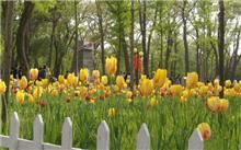 山西:太原迎泽公园下月有望继续开花的郁金香