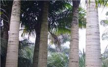 国王椰子的栽培管理方法