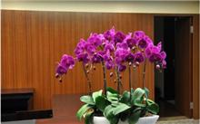 蝴蝶兰的养殖方法和注意事项