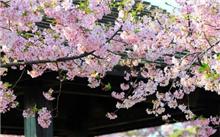湖南:长沙,植物园内的最美丽的花朵迎接染井吉野樱花盛开的美丽