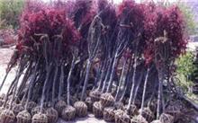 河北:石家庄打造全国首个园林苗木嫁接