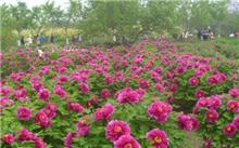 河南:三门峡天鹅湖湿地公园将迎来开花的牡丹