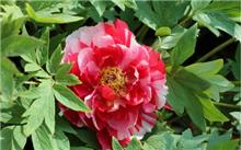 江苏:东坡公园周末将进入开花的牡丹