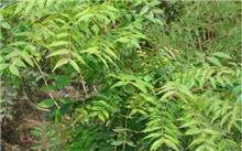 黄连木容器苗的育苗技术