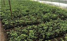 金叶红瑞木嫩枝扦插和硬枝扦插育苗技术