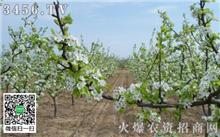 吉林:长春市的较好个主题公园在1000梨树进入花期