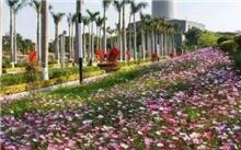 """厦门:灯塔公园享受波斯菊鲜花"""" 51""""成最"""