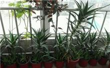 吊兰、绿萝、芦荟、海棠、红掌花卉养殖技巧
