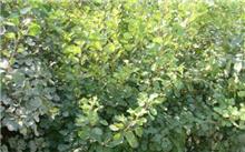 江苏漆树籽价格行情,最新的黄栌种子价格搜索 -  2015年5月31日