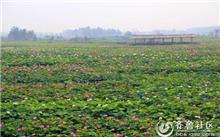 枣庄:大面积的湿地台儿庄运河荷花盛开