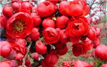 木瓜海棠的养殖方法