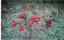 七星海棠的养殖方法
