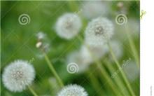 江苏蒲公英种子价格行情,最新的蒲公英种子价格搜索 -  2015年6月18日