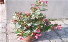 玻璃海棠的养殖方法