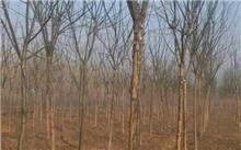 治疗国槐树干腐烂
