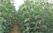 山东红色天空梨树苗价格行情,最新的满天红梨苗价格查询 -  2015年7月1日