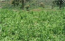 菊苣霜霉病防治技术