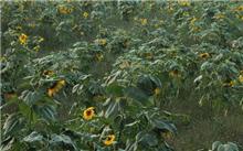 向日葵病虫害防治方法
