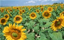向日葵病防治方法