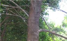 防治方法木麻黄肿枝病