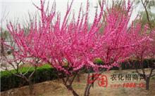 春季榆叶梅病虫害防治方法
