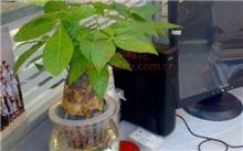 将土培的发财树驯化成水培