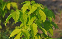 北美复叶槭常见病虫害防治