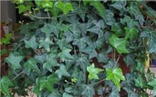 常春藤常见病虫害防治