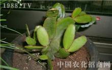 仙人掌根虱防治方法