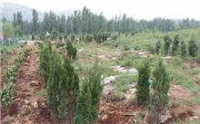 山东淄博博山雨季造林栽植侧柏154万株