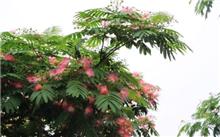 合欢树蔷薇窄吉丁的防治方法