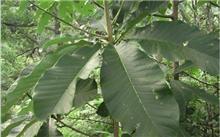 厚朴苗木根腐病的防治方法
