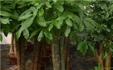 发财树腐烂病症状及防治