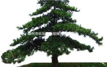 观赏树木油松毛虫的防治方法