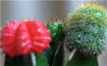 花卉害虫仙人掌盾蚧的防治方法