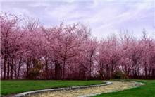 樱花树秋季管理