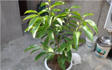 盆栽白兰春季剪枝方法