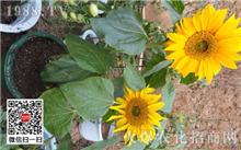 盆栽向日葵的种植技术