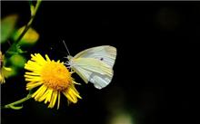 树粉蝶防治对策