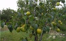 高密度栽培的梨树整形方法