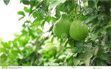 柚子病虫害绿色防控法