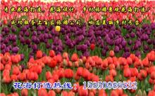 江苏郁金香种球价格行情,最新郁金香种球价格查询-2015年12月10日