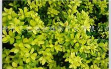 金叶龟甲冬青茎基腐病症状及防治方法