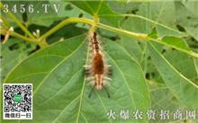 园林绿化害虫侧柏毒蛾的防治方法