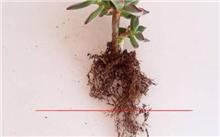 多肉植物这样的根可以不修