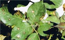 龙吐珠炭疽病症状及防治方法