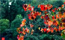 红叶乌桕栽培技术及其应用