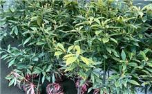 楠木栽培技术及其特性