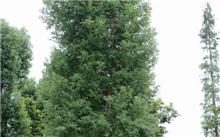 广东:榄核镇种植樟树效益好